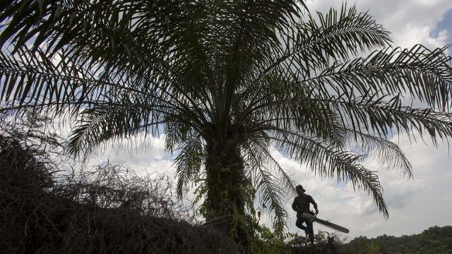 Pekerja menebang pohon kelapa sawit