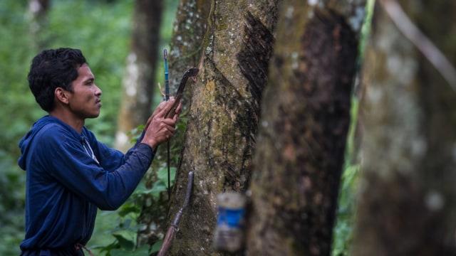 Ilustrasi pohon karet