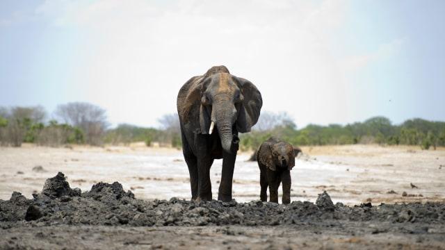 Memahami Perbedaan Gajah Modern dan Stegodon (62801)