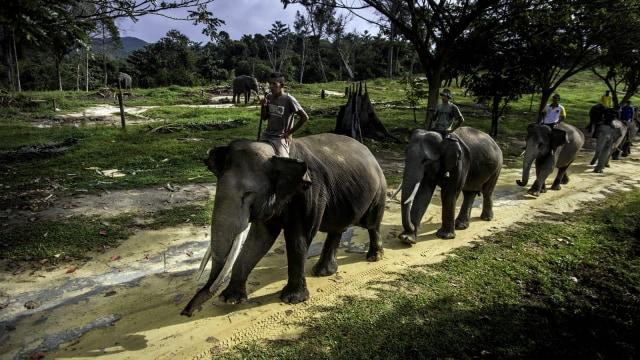 Konservasi Gajah Riau