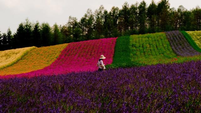 Bunga lavender di Farm Tomita bermekaran.