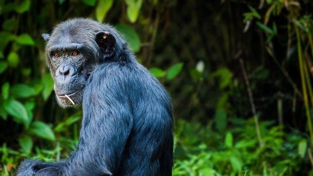 Pertama Kalinya, Simpanse dan Gorila Terlibat Perang di Alam Liar (1175032)
