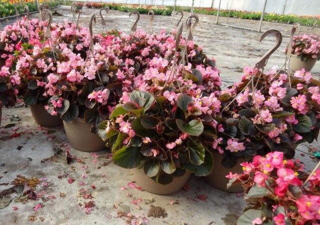 10 Jenis Bunga Hias Gantung Ini Bisa Ceriakan Suasana Rumah! (52475)