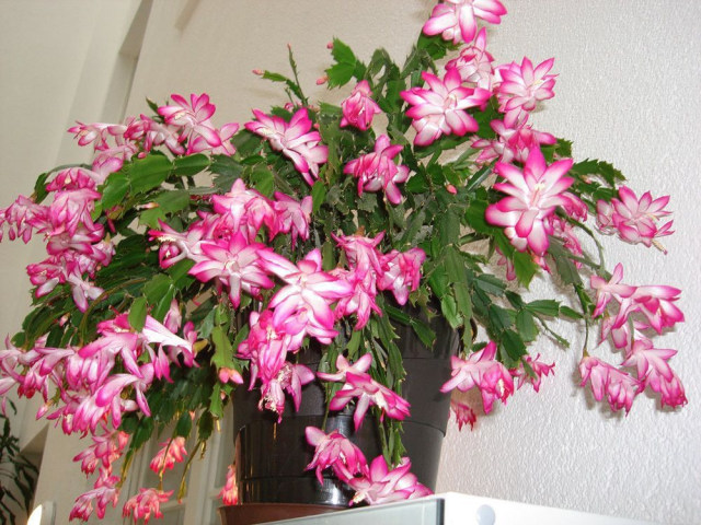 10 Jenis Bunga Hias Gantung Ini Bisa Ceriakan Suasana Rumah Kumparan Com