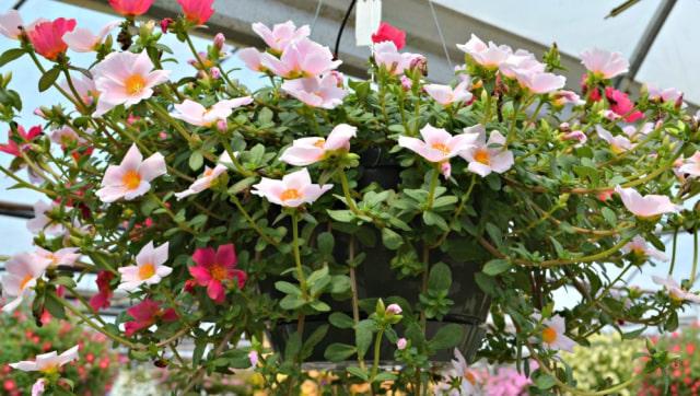 10 Jenis Bunga Hias Gantung Ini Bisa Ceriakan Suasana Rumah! (52479)