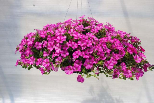 10 Jenis Bunga Hias Gantung Ini Bisa Ceriakan Suasana Rumah! (52481)