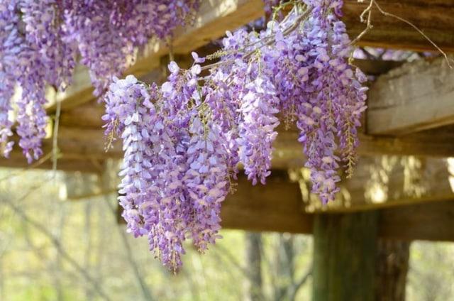 10 Jenis Bunga Hias Gantung Ini Bisa Ceriakan Suasana Rumah! (52484)
