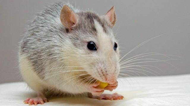 Ilustrasi tikus