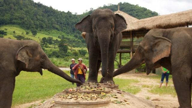 Gajah di  Elephant Nature Park
