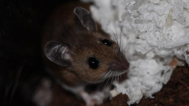 Peromyscus maniculatus atau tikus rusa