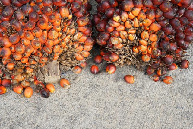 Produksi Kelapa Sawit Diprediksi Bisa Tembus 42 Juta Ton Tahun Ini (67593)