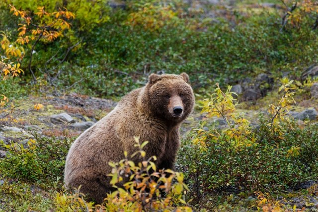 Plot Twist: Beruang Grizzly Serang Kambing Gunung, Malah Mati Ditanduk (716179)