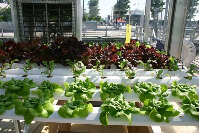 Cara Membuat Kebun Tanaman Hidroponik Di Rumah Kumparan Com