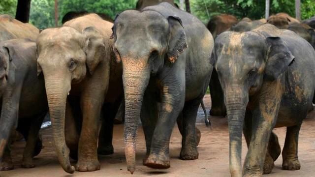 Pria Thailand Tewas Diinjak 5 Gajah Kumparan Com