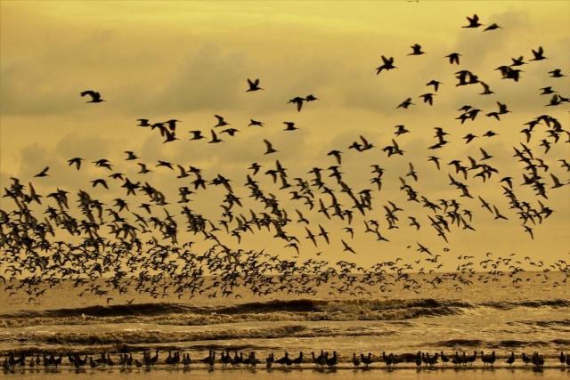 Burung Migran