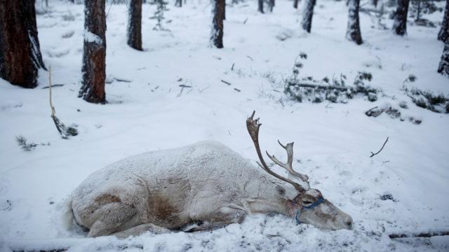 Mengenal Dukha, Suku Penggembala Rusa Kutub Terakhir di Bumi (367317)