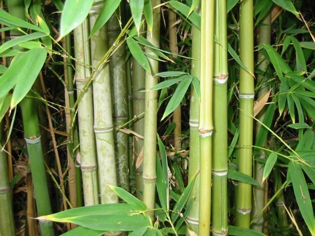 Bambu adalah Tumbuhan yang Tumbuh Paling Cepat - kumparan.com