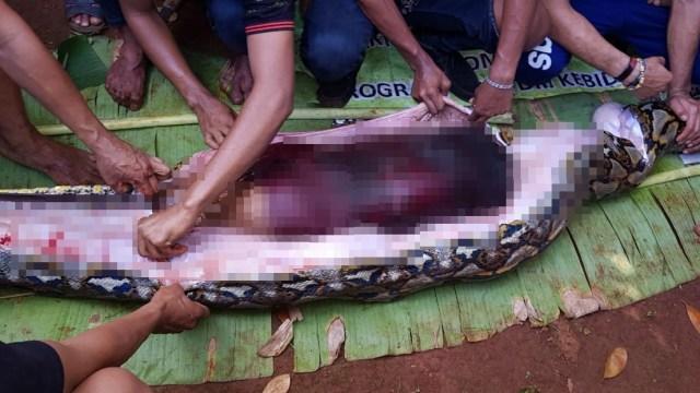 Kenapa Ular Piton di Sulawesi Tenggara Memangsa Manusia? (166407)