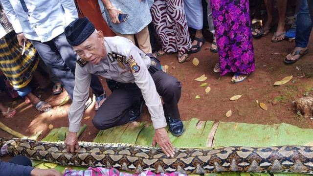 Kenapa Ular Piton di Sulawesi Tenggara Memangsa Manusia? (166410)