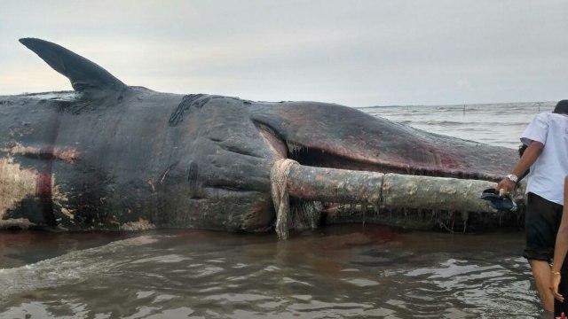 Ngeri, Banyak Paus Lumba-lumba Mati dengan Bungkus Deterjen hingga Odol di Perut (1)