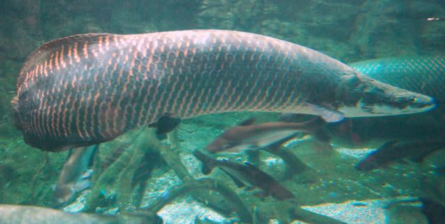 7 Fakta Unik soal Ikan Arapaima Gigas yang Bikin Heboh Warga Sidoarjo (333466)