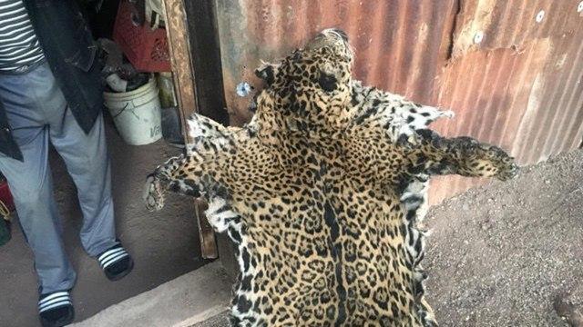 Yo'oko, 1 dari 3 Jaguar yang Tersisa di AS, Mati Dibunuh (316404)