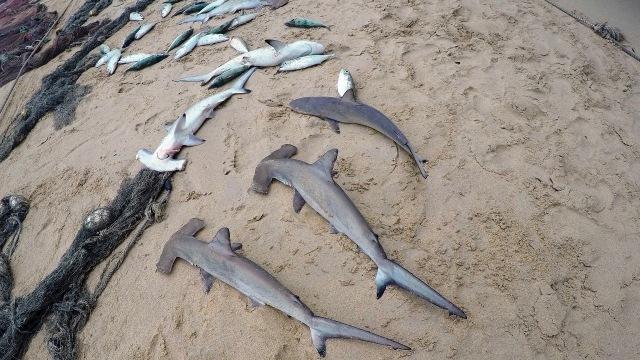 Ilustrasi hiu martil yang mati