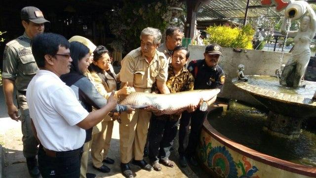 Lagi, Nelayan Temukan Ikan Predator Arapaima di Sungai Rolak Surabaya (1195930)