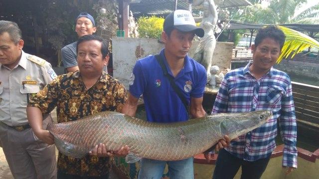 Lagi, Nelayan Temukan Ikan Predator Arapaima di Sungai Rolak Surabaya (1195928)