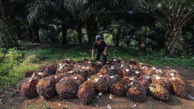 Produksi Kelapa Sawit Diprediksi Bisa Tembus 42 Juta Ton Tahun Ini (78414)
