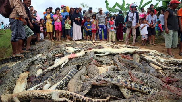 Polisi Tetapkan 2 Tersangka Pembantaian 292 Buaya di Sorong (307209)