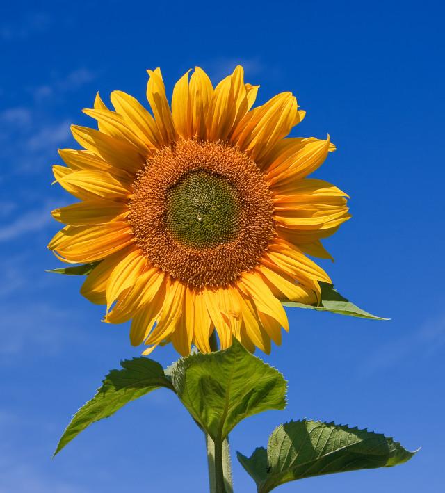 Kebun Bunga Matahari Di Kanada Ditutup Akibat Diserbu Pemburu Like