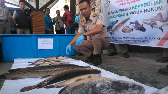 25 ikan berbahaya dimusnahkan