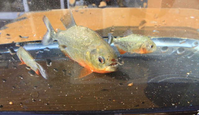 21 Ekor Ikan Invasif dan Berbahaya Dimusnahkan, Ada Piranha (28661)