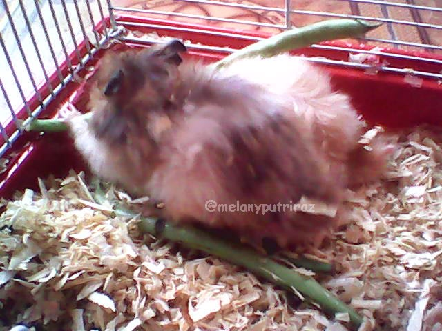 Memelihara Hamster Membuat Bahagia Kumparan Com