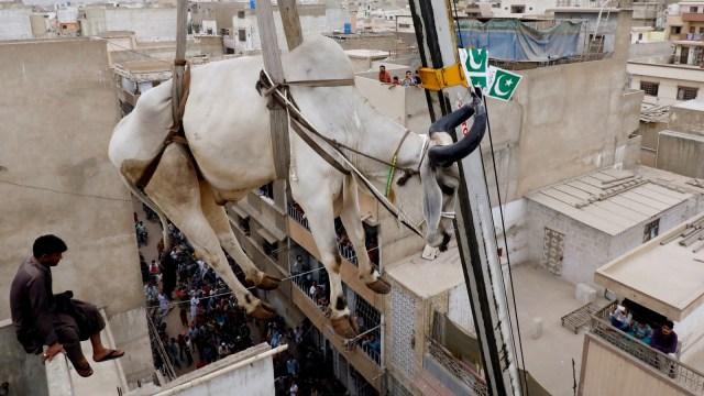 Warga menurunkan sapi, kurban dari atap menggunakan crane, menjelang Idul Adha di Karachi, Pakistan.