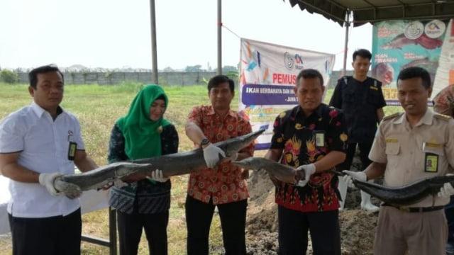 BKIPM Surabaya Musnahkan 45 Ekor Ikan Arapaima dan Aligator (158120)