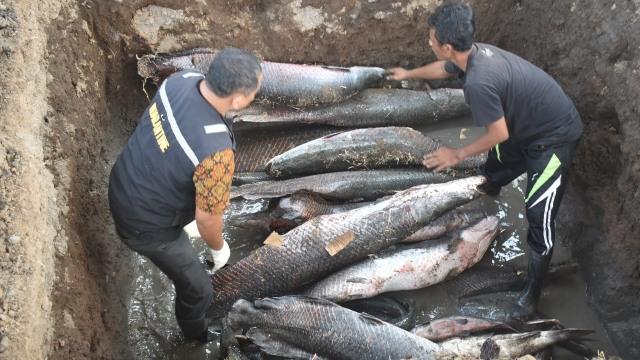 BKIPM Surabaya Musnahkan 45 Ekor Ikan Arapaima dan Aligator (158121)