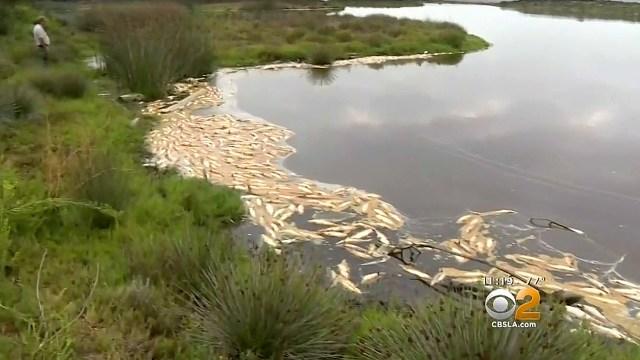 Penampakan Ikan Mati di Pantai Malibu, AS
