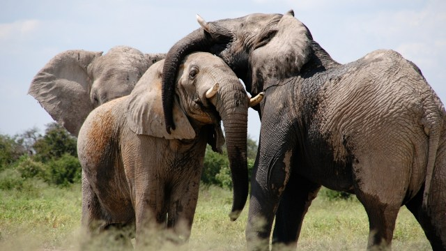 Gajah.