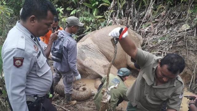 Gajah Liar di Aceh Luka Parah Akibat Terkena Jerat