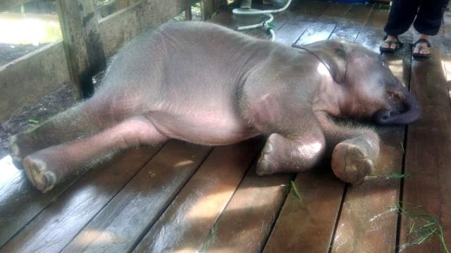 Amirah, anak gajah Sumatera, BKSDA Aceh