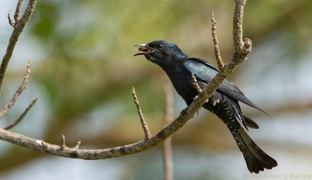 Mengetahui Jenis Jenis Burung Kedasih Yang Hidup Di Indonesia Kumparan Com