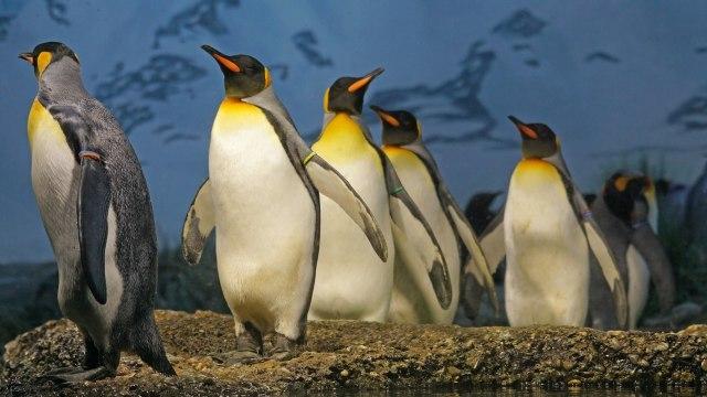 Penguin raja.