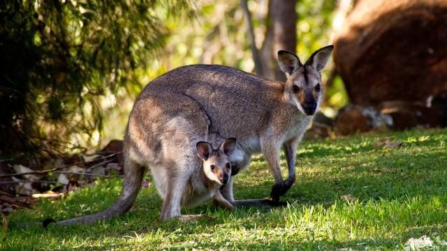 Kanguru di Australia
