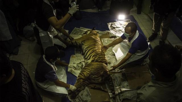 Harimau, jerat hewan, terancam punah