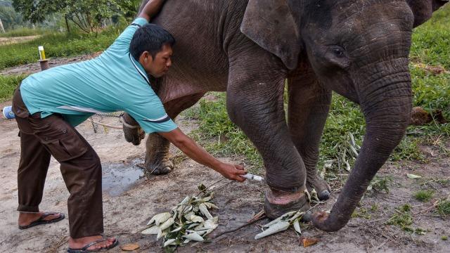 Gajah, jerat hewan, terancam punah