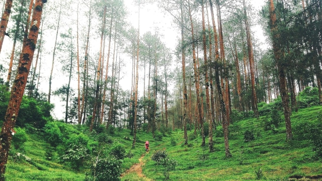 Kawasan pohon pinus di jalur Merbabu via Suwanting