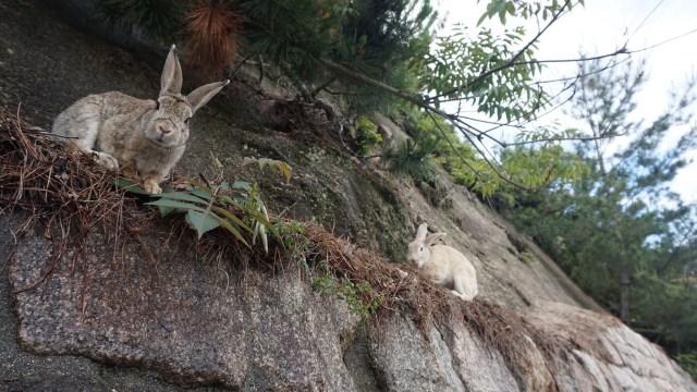 Kelinci liar di Okunoshuma