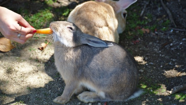 Kelinci di Okunoshuma diberi makan pengunjung